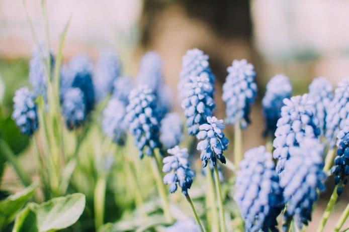 blue flowers in a field